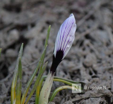 Первые цветы распустились в Нижнем Новгороде - фото 4