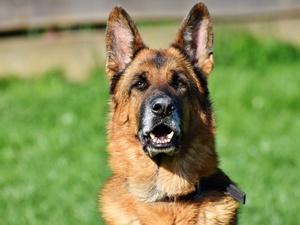Более 420 тысяч рублей потратит нижегородская полиция на покупку пяти собак