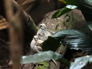 Птенцы бриллиантовой горлицы появились на свет в нижегородском зоопарке