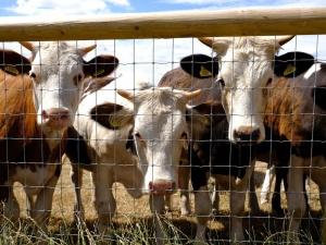 Нижегородские коровы выиграли золотые медали на Всероссийской выставке в Москве