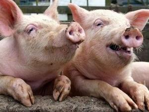 Карантин по африканской чуме свиней в Вадском районе снят