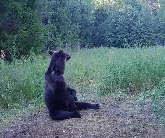 Сезон охоты на медведя открывается в Нижегородской области 1 августа - фото 1