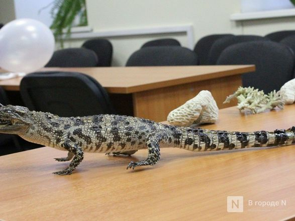 """Крокодил в багаже: нижегородские таможенники показали """"шедевры"""" контрабанды - фото 55"""