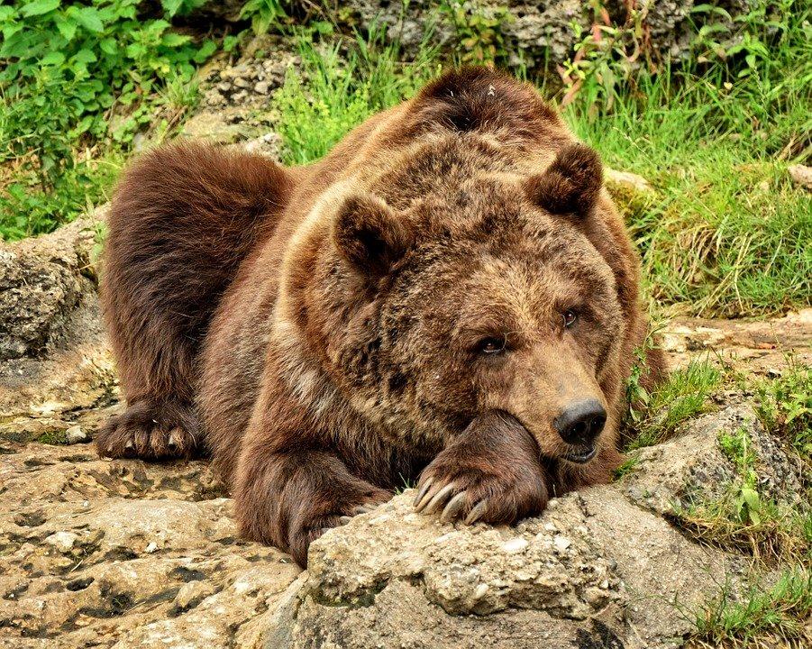 Что делать, если в лесу вы повстречали медведя: инструкция по выживанию - фото 2