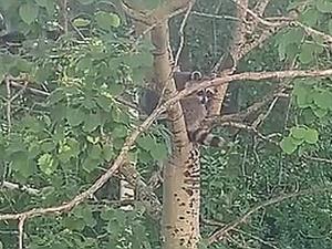 Енота на дереве обнаружили жители микрорайона Бурнаковский