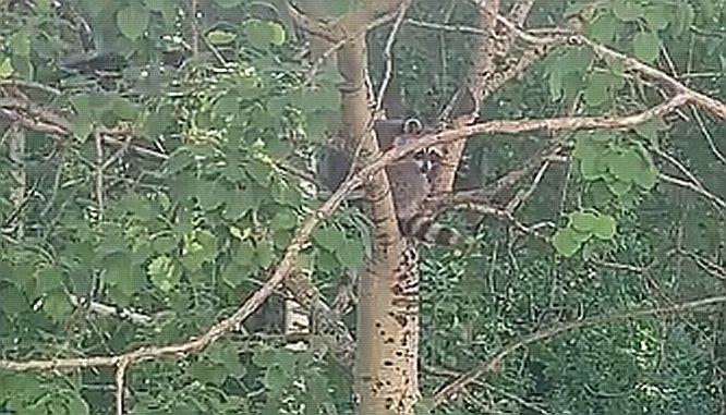 Енота на дереве обнаружили жители микрорайона Бурнаковский - фото 1